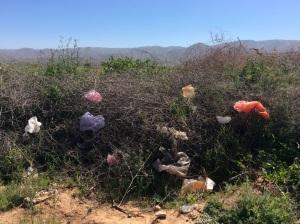 De fameuze Schapenboom. Dit ex. Staat in bloei,. Als hij geoogst wordt in de herfst zitten de ribbetjes en koteletjes gewoon in de plastiekzakken, klaar om geplukt te worden.