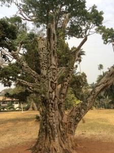 Gustenboom in Aburi Botanical Gardens